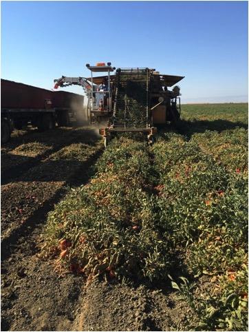 Tomato Harvestor