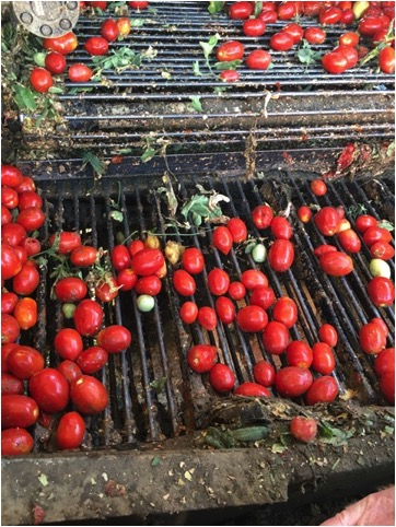 Tomatoes on harvestor